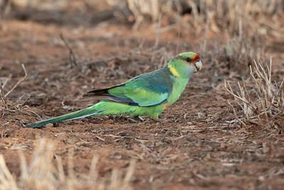 Australian Ringneck (Barnardius zonarius) - Cunnumulla, Queensland