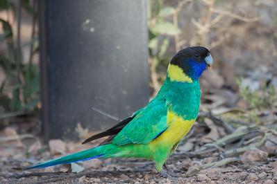 Australian Ringneck (Barnardius zonarius) - Trephina Gorge Nature Park, Northern Territory