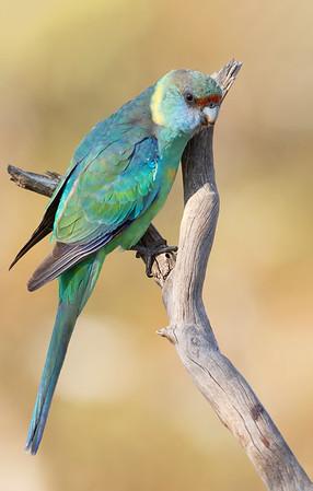 Australian Ringneck (Barnardius zonarius) - Gluepot, South Australia