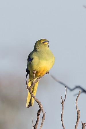 Blue-winged Parrot (Neophema chrysostoma) - Australian Arid Lands Botanic Gardens (Port Augusta), South Australia
