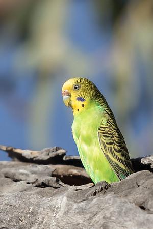 Budgerigar (Melopsittacus undulatus) - Clem Walton Reserve (Cloncurry), Queensland