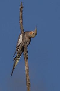Cockatiel (Nymphicus hollandicus) - Clem Walton Reserve (Cloncurry), Queensland