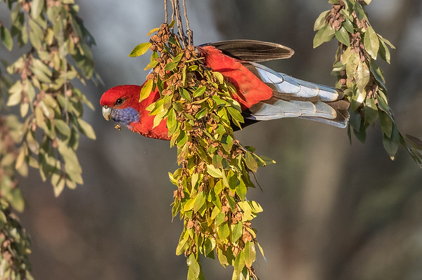 Crimson Rosella (Platycercus elegans) - Gunning, New South Wales
