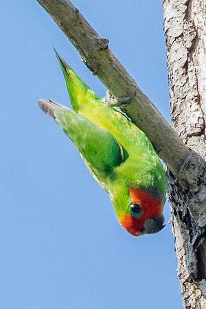 Double-eyed Fig-Parrot (Cyclopsitta diophthalma) - Chilli Beach (Cape York), Queensland