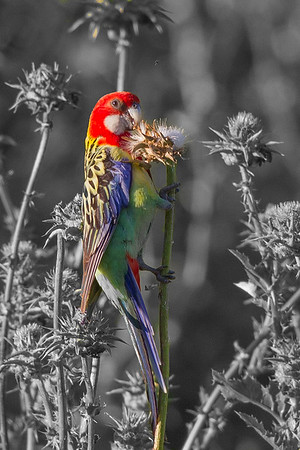 Eastern Rosella (Platycercus eximus) - Glen Davis, New South Wales