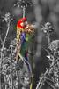 Eastern Rosella (Platycercus eximus) - Glen Davis, New South Wales