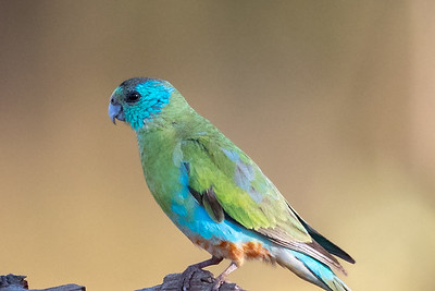 Golden-shouldered Parrot (Psephotus chrysopterygius) - Artemis Station (Cape York), Queensland