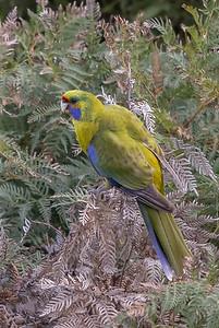 Green Rosella (Platycercus caledonicus) - Maria Island, Tasmania