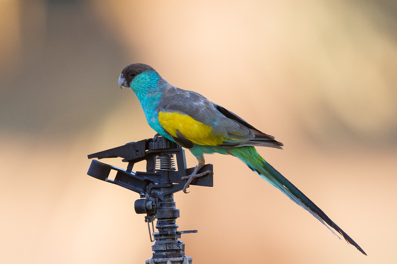 Hooded Parrot (Psephotus dissimilis) - Pine Creek, Northern Territory