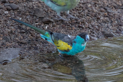 Hooded Parrot (Psephotus dissimilis) - Edith Falls, Northern Territory