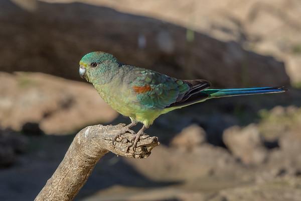 Mulga Parrot (Psephotus varius) - Cunnumulla, Queensland