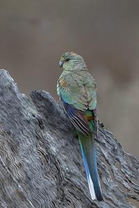 Mulga Parrot (Psephotus varius) - Bowra (Cunnumulla), Queensland