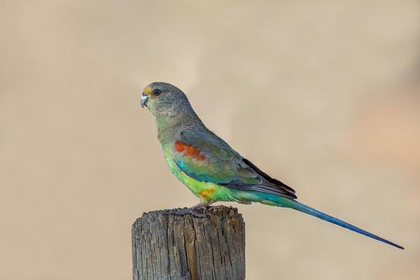 Mulga Parrot (Psephotus varius) - Bowra (Cunnamulla), Queensland