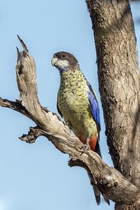 Northern Rosella (Platycercus venustus) - Edith Falls, Northern Territory