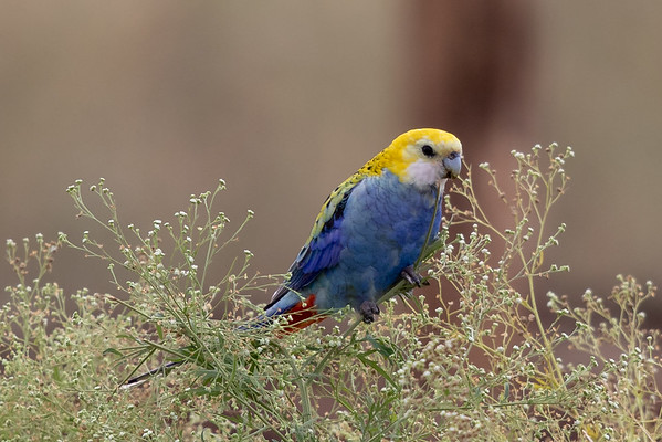 Pale-headed Rosella (Platycercus adscitus) - Old Corrie (Clermont), Queensland