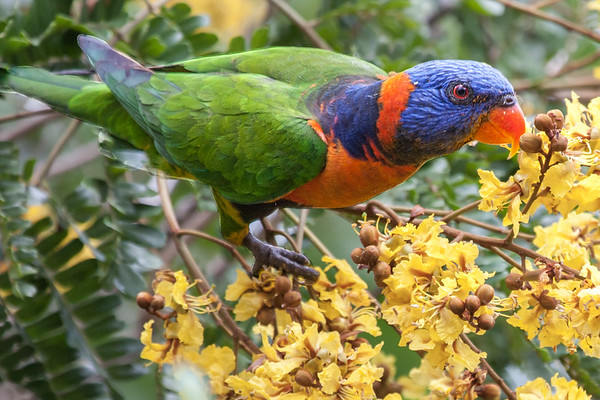 Red-collared Lorikeet (Trichoglossus rubritorquis) - Pine Creek, Northern Territory