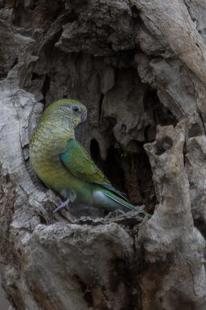 Red-rumped Parrot (Psephotus haematonotus) -Serendip, Victoria