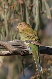 Red-rumped Parrot (Psephotus haematonotus) - Bourke, New South Wales