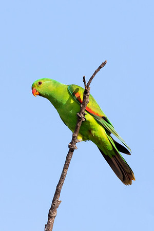 Red-winged Parrot (Aprosmictus erythropterus) - Minnamoolka, Queensland,