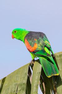 Red-winged Parrot (Aprosmictus erythropterus) - Mareeba, Queensland