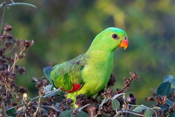 Red-winged Parrot (Aprosmictus erythropterus) - Charters Towers, Queensland,