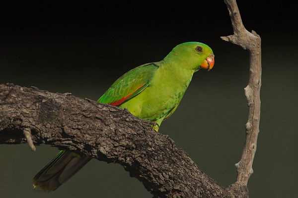 Red-winged Parrot (Aprosmictus erythropterus) - Pine Creek, Northern Territory