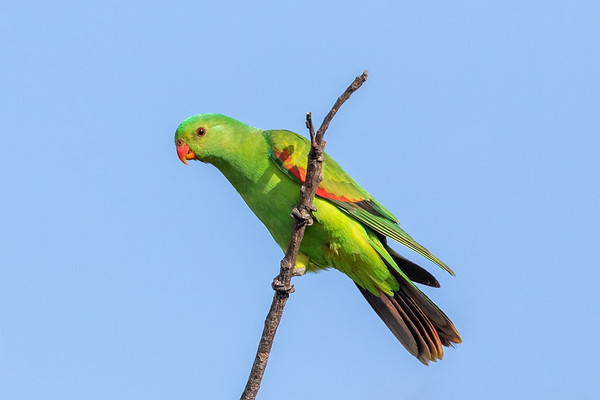 Red-winged Parrot (Aprosmictus erythropterus) - Minnamoolka, Queensland,