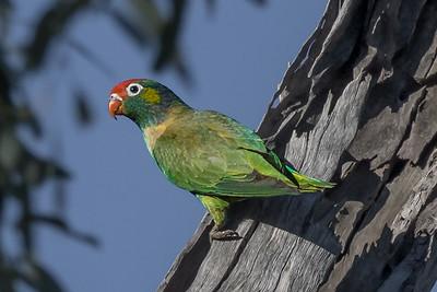 Varied Lorikeet (Psitteuteles versicolor) - Clem Walton Reserve (Cloncurry), Queensland