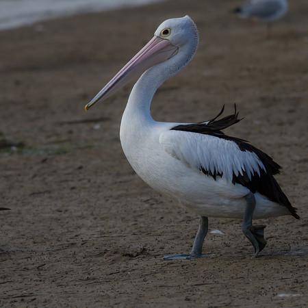 Australian Pelican (Pelecanus conspicillatus) - Stony Point, Victoria