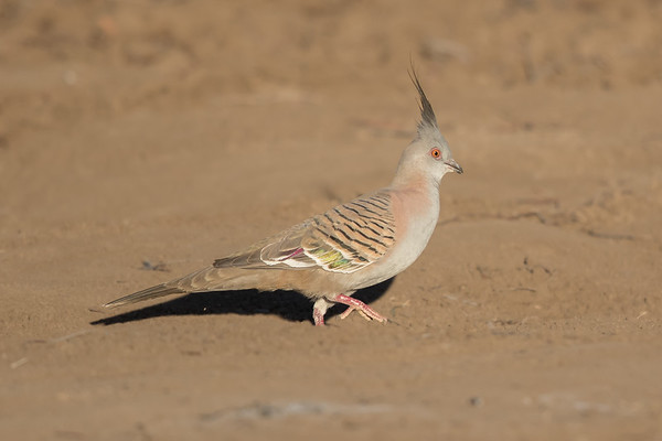 Crested Pigeon (Ocyphaps lophotes) - Long Waterhole (Winton), Queensland