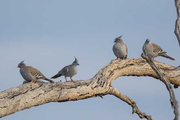 Crested Pigeon (Ocyphaps lophotes) - Bollon, Queensland