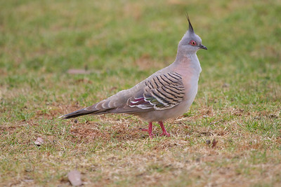 Crested Pigeon (Ocyphaps lophotes) - Capertee Valley (Glen Davis), New South Wales