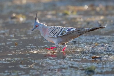 Crested Pigeon (Ocyphaps lophotes) - Parrys Lagoon, Western Australia