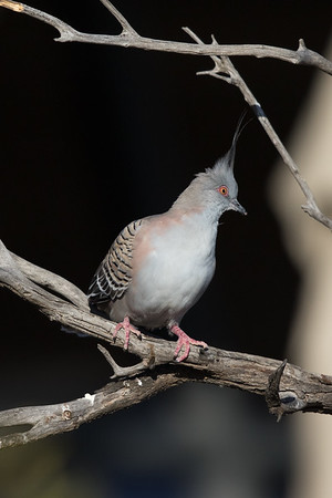 Crested Pigeon (Ocyphaps lophotes) - Arid Lands Botanic Gardens (Port Augusta), South Australia