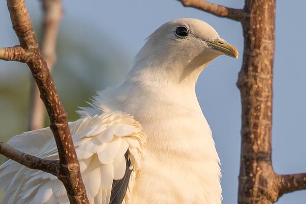 Torresian Imperial-Pigeon (Ducula spilorrhoa) - East Point (Darwin), Northern Territory