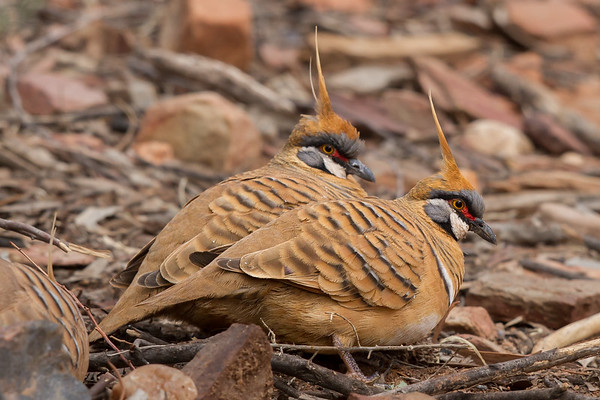 Spinifex Pigeon (Geophaps plumifera) - Ormiston Gorge, Northern Territory