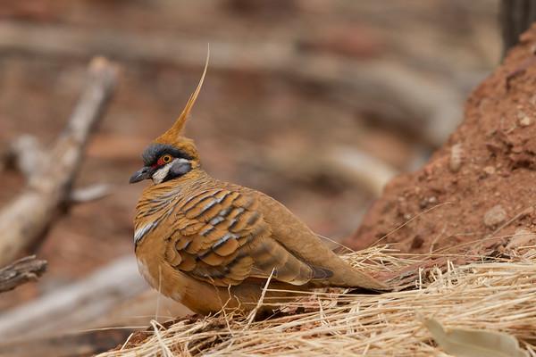 Spinifex Pigeon (Geophaps plumifera) - Ormiston Gorge, Northern Territory