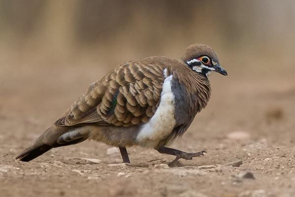 Squatter Pigeon (Geophaps scripta) - Einasleigh, Queensland