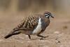 Squatter Pigeon (Geophaps scripta) - Einasleigh