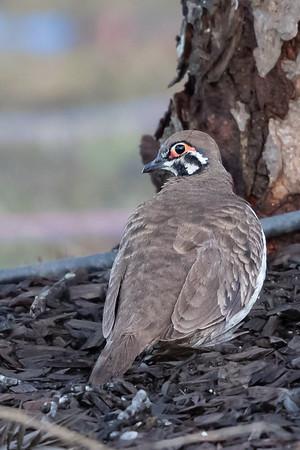 Squatter Pigeon (Geophaps scripta) - Birds on Barron (Mareeba), Queensland