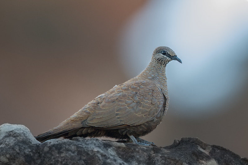 White-quilled Rock-Pigeon (Petrophassa albipennis) - Keep River National Park, Northern Territory