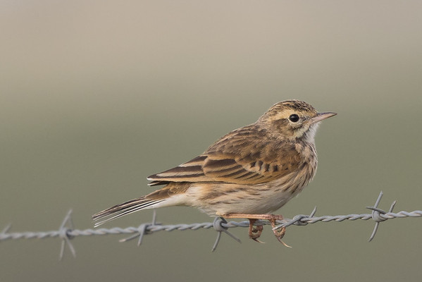 Australian Pipit (Anthus australis) - Round Hill Reserve, New South Wales