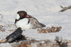 Hooded Plover (Thinornis cucullatus) - Bay of Fires, Tasmania