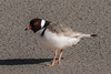 Hooded Plover (Thinornis cucullatus) - Lakes Entrance, Victoria