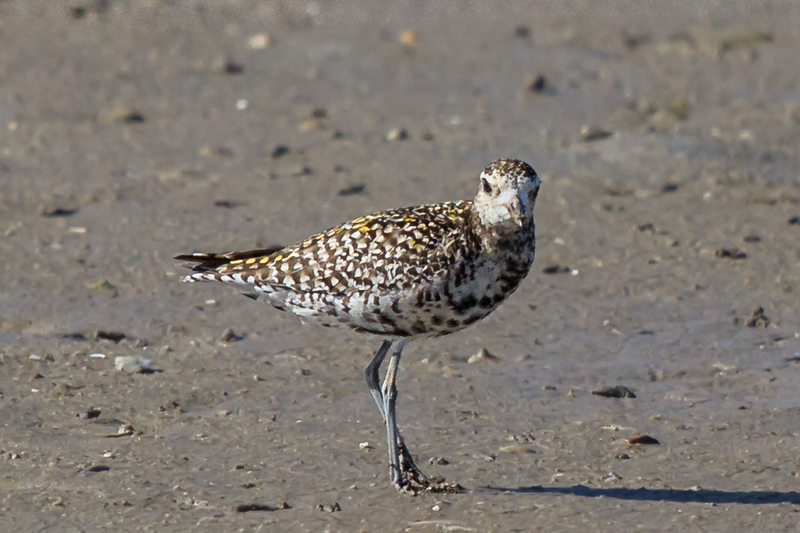 Pacific Golden Plover (Pluvialis fulva) - Cairns, Queensland