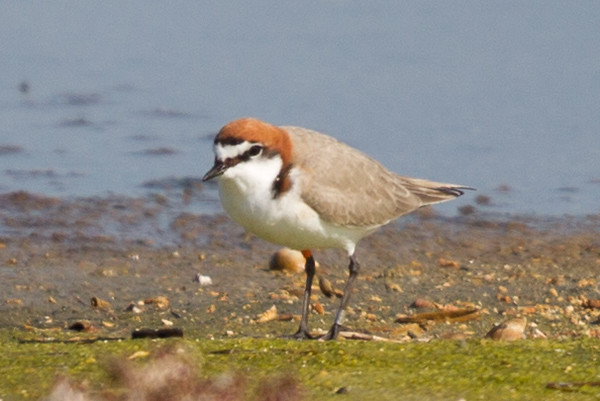 Red-capped Plover (Charadrius ruficapillus) - Werribee Treatment Plant, Victoria.