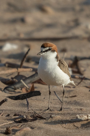 Red-capped Plover (Charadrius ruficapillus) - Buffalo Creek (Darwin), Northern Territory