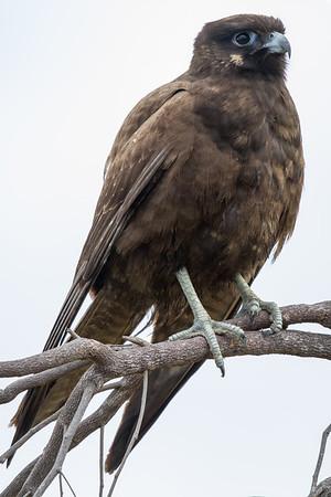 Black Falcon (Falco subniger) -Mount Molloy, Queensland