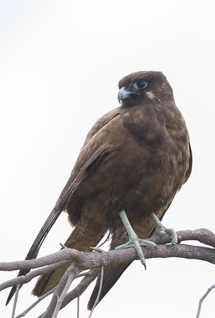 Black Falcon (Falco subniger) -Mount Molloy, Queensland