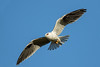 Black-shouldered Kite (Elanus axillaris) - Tambo, Queensland